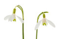 Common snowdrop isolated on a white background Royalty Free Stock Images