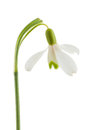 Common snowdrop isolated on a white background Stock Photo
