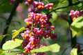 Common spindle bush - Euonymus europaeus Stock Photography