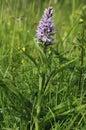 Common Spotted Orchid - Dactylorhiza fushsii
