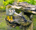 Common squirrel monkey Stock Photos