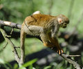 Common Squirrel Monkey Stock Photo