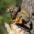 The common squirrel monkey saimiri sciureus sitting on a branch Stock Photography