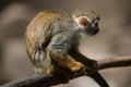 Common squirrel monkey Saimiri sciureus.