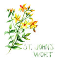 Common st john s wort wild plant hypericum perforatum watercolor illustration Royalty Free Stock Photo