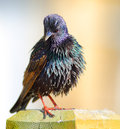 Common starling bird colourful european Royalty Free Stock Images