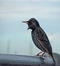 Common starling or european shows off its striking plumage Royalty Free Stock Photo