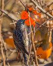 Common starling feeds on a kaki fruit sturnus vulgaris an overripe asian persimmon diospyros or Royalty Free Stock Images