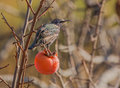 Common starling feeds on a kaki fruit sturnus vulgaris an overripe asian persimmon diospyros or Stock Images