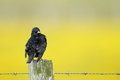 Common starling on a fence with barbed wire Stock Photo