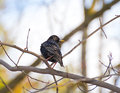 Common starling perching on branch or european sturnus vulgaris tree in early spring park Stock Photo