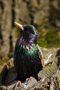 Common Starling (Sturnus vulgaris) Stock Images