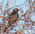 Common Starling, Sturnus vulgaris Royalty Free Stock Photos