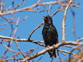 Common starling sturnus vulgaris on branch Stock Photo