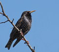 Common starling sturnus vulgaris on branch Stock Image