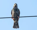 Common starling on a wire against blue sky newly moulted sturnus vulgaris in sydney australia perching telephone looking at the Royalty Free Stock Images
