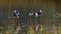 Common stilt black winged or black winged or or pied or himantopus himantopus b Royalty Free Stock Photography