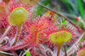Common Sundew (Drosera rotundifolia ) Stock Photo
