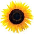 Common Sunflower Flower Head, ...