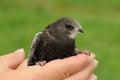 Common swift bird apus apus in the hand Stock Photo