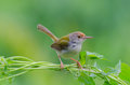 Common tailorbird tailor bird orthotomus sutorius holding on climber Stock Images