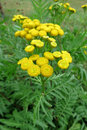 Common tansy tanacetum vulgare in the meadow Stock Photos