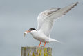 Common tern artic tern with a fish Royalty Free Stock Photos
