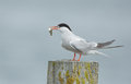 Common Tern, artic tern Royalty Free Stock Photo