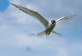 Common tern or artic tern in flight Stock Image