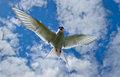 Common tern or artic tern in flight Royalty Free Stock Images