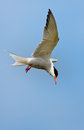 Common tern or artic tern in flight Royalty Free Stock Image