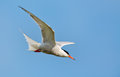 Common tern or artic tern in flight Royalty Free Stock Photos