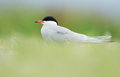 Common tern or artic tern between grass Stock Photos
