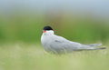 Common tern or artic tern between grass Royalty Free Stock Images