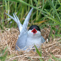 Common tern or artic tern on her nest Royalty Free Stock Photography