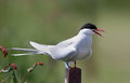Common tern or artic tern on a pole Royalty Free Stock Photos