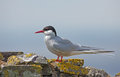 Common tern or artic tern on a rock Stock Photography