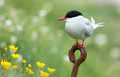 Common tern or artic tern on a rusty piece of iron Royalty Free Stock Photography