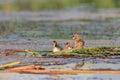 Common tern chick on lake group of three sterna hirundo Stock Images