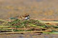 Common tern chick on lake sterna hirundo the nest Royalty Free Stock Photo