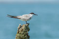 Common tern the portrait of sterna hirundo Royalty Free Stock Photography