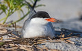 Common tern sits on her eggs Royalty Free Stock Photography