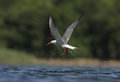 Common tern, Sterna hirundo Royalty Free Stock Photos