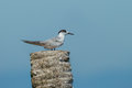 Common tern sterna hirundo in nature of thailand gulf Stock Image