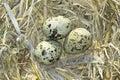 Common Tern (Sterna hirundo ) nest with eggs