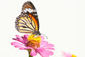 Common tiger butterfly Stock Images