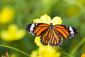 Common tiger butterfly with cosmos flower and insect pollinator in the nature Stock Image
