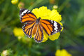 Common tiger butterfly with cosmos flower and insect pollinator in the nature Royalty Free Stock Photo