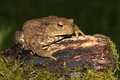 Common Toad Bufo bufo. Royalty Free Stock Photo