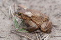 Common toad closeup